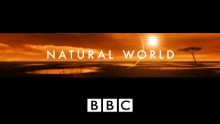 BBC Мир Природы. Битва за Спасение Тигра / Natural World. Battle to Save the Tiger