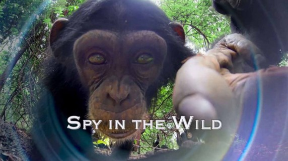 Шпионы в дикой природе 1 серия. Любовь / Spy in the Wild (2017)